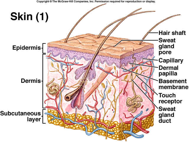 Integumentary System - The Systems Of The Body